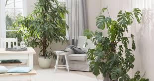 exotische zimmerpflanzen tropenflair für die wohnung mein