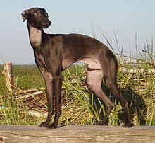 Do Italian Greyhounds Shed A Lot by Italian Greyhound Wikipedia