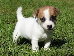 Jack Russell Puppy - Payton SOLD To The Dickerson Family - Snow ... Jack Russell Gracie Sold To Chris Dearmon Snow Creek 1813 Best Triers Images On Pinterest 743 Russell Long Haired Jack Trier Puppies For Sale In Kent Google The Russellcolbath Historic Homestead Site The White Mountains New Hampshire Kancamagus Highway Northern England Villages Cute Trier Dog On Stock Photo 574920391 Shutterstock Farm Photos Images Alamy Male Teacup Chihuajack Russellix Lantern Pictures Jackhua 1588