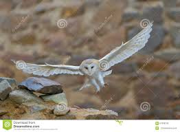Barn Owl, Tyto Alba, With Nice Wings Flying On Stone Wall, Light ... Standing Twelve Weekold Barn Owl Side View Stock Photo Getty Images Boxes South Downs National Park Authority Old Man Of Minsmere Aka John Richardson Gorgeous Birds In Folklore Owls And Ravens Randomdescent Orbit The 5 Weekold Baby Who Has Been Hand Ared By Owl Wikipedia Coda Falconry On Twitter Our 7 Week Old Barn Was Bred At Dont Go Deaf New Zealand Geographic Australian Masked Rescuing Owls Tropic Wonder Audubon Art Print Vintage Nature Bird Eyfs Blog Archive Wise
