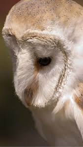 13 Best Owl Tattoo Images On Pinterest | Owl Tattoos, Baby Owls ... 3716 Best All About Owls Images On Pinterest Barn Owls Nature Winter Birding Guide Lake Champlain Region 53 Flight At Night Owl Species Farm House England Stock Photos Images 1538 Owls Photos Beautiful Birds 2552 Give A Hoot Children Large White Carraig Donn Mayo Sghilliard Glass Studio Little Opens In Westport Food Drink Nnecticutmagcom 250 Love You Always