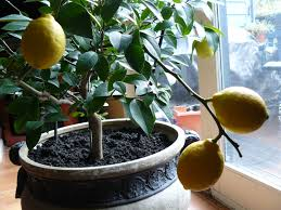 detailed on how to grow a lemon tree from seed easily