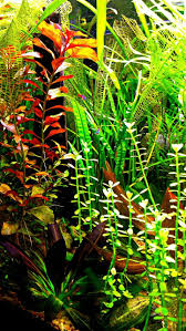 728 Best Akvarijni Rostliny Images On Pinterest | Aquatic Plants ... Layout 22 George Farmer Tropica Aquarium Plants Aquacarium Aquascaping Live Bulk Fish Food Lifelike Hugo Kamishi Trimming Aquatic Stem Good Time For New Youtube Lab Tutorial River Bottom Natural Aquarium Plants With Pearlweedhow To Start A Carpet Of Pearlweed How To Create Your First Aquascape Love Rotala Sp Njenshan Pinterest Ideas From The Art The Planted Basics Substrate Stainless Steel Kit Tank