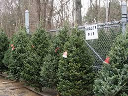 Fraser Christmas Tree Care by Christmas Trees Ferestien Feed U0026 Farm Supply