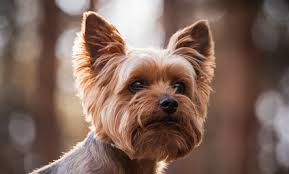 10 dog breeds that shed the least care2 healthy living