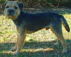 Do Border Terriers Shed by Border Terrier Wikipedia