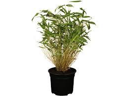 gartenbambus höhe 30 40 cm topf ca 2 l fargesia murielae