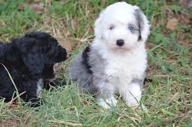Dogs That Shed Hair by Sheepadoodle Characteristics Appearance And Pictures