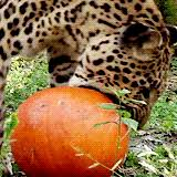 Porcupine Eating Pumpkin Gif by 15 Animals Who Are Ridiculously Excited For The First Day Of Fall