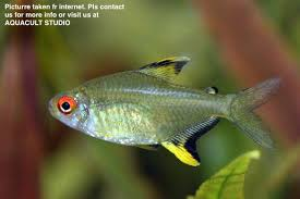 lemon tetra freshwater aquarium fi end 9 21 2018 11 30 pm