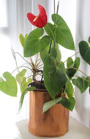 anthurium anthurio can be propagated by taking stems cuttings with