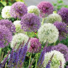 allium bulbs for sale uk buy allium bulbs meuwen
