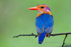 Perfection African Pygmy Kingfishers Are Found In The Woodlands Savanna And Coastal