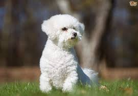Shed Free Lap Dogs by Bichon Frise Dog Breed Information Buying Advice Photos And