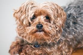 yorkipoo dog breed information pictures characteristics facts