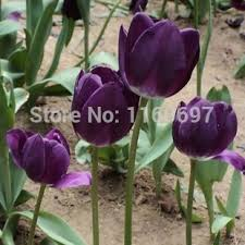 free shipping purple 5blubs flower bulbs tulip bulbs sementes de