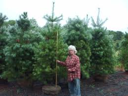 Plantable Christmas Trees For Sale by Fast Growing White Pine Trees Buy Trees Online Call 215 651 8329