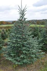 Balsam Christmas Trees Uk by Fraser Fir Christmas Trees For Sale Sendmeachristmastree
