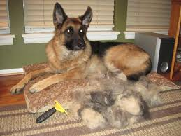 stop blue heeler shedding hair is in the air it s shedding season enter to win a