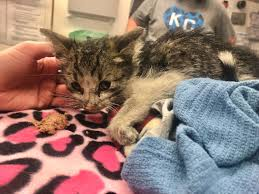 100 Kansas City Shipping Kitten Survived Multiple Days In Shipping
