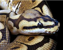 Snake Skin Shedding Frequency by Apollo Ball Python