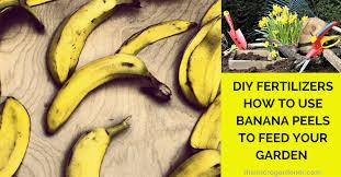 Homemade Fertilizer For Pumpkins by Diy Fertilisers How To Use Banana Peels The Micro Gardener