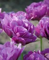 tulip blue wow peony flowering tulips tulips flower bulbs
