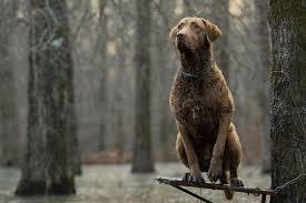 best hunting dogs gun dogs hunting dog breeds field stream