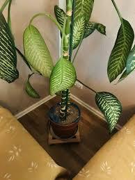 große wohnzimmer pflanze