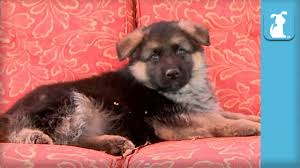Fluffy German Shepherd Puppy Falls Asleep In Rocking Chair - Puppy ... Puppy Dog Rocking Chair In Tadley Hampshire Gumtree Black Miniature Pinscher On The Stock Photo Pregnant Girl A Sleeps Next To Her Footage Leisure Ways Outdoor Lounge Baby Sofa Diy Front Porch Makeover Love And Specs Andrea Mclean Presenter Author Mum On Twitter Rocking Partial View Man Little Chihua Knees Decorated Young Woman Sitting With Teacup A Chairspherd Dog Is Vintage Thonet Style Bentwood Cane Chair Chairish Chairs Senior Porch Sorry 2nd Chillin Pic Today River Otter The Teddy Modern Magazine
