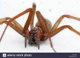 Common House Spider (Tegenaria Domestica). A Large Spider In The ... Spiders At Spiderzrule The Best Site In World About Spiders Barn Funnel Weaver Spider North American Insects Bug Eric Thinlegged Wolf Genus Pardosa Grass How To Tell If A Spider Is Not Brown Recluse Spiderbytes