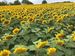 Pumpkin Patch Farms Raleigh Nc by Exploring The Secret Neuse River Sunflower Fields In Raleigh
