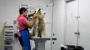 Do Samoyed Huskies Shed by Severely Matting Husky Mix Very Well Mannered For Such A Painful