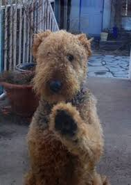 Airedale Terrier Non Shedding by That Look Amazing Dogs Terrier And Dog