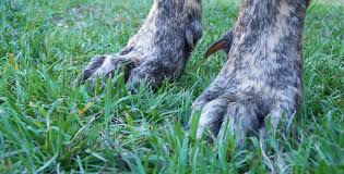 Wirehaired Pointing Griffon Non Shedding by Grooming U2014 A Great Danes World