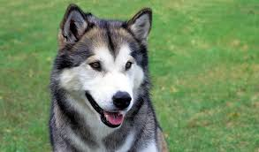 Do Malamutes Shed Hair by Alaskan Malamute Breed Information