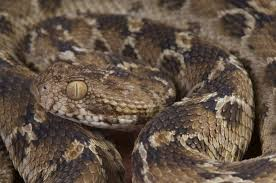 These Are The 7 Deadliest Animals In Africa West African Carpet Viper