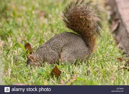 Eastern Fox Squirrel Burying Nuts In A Backyard In Houston, Texas ... Qa More Help For Dogfriendly Gardens Sunset Beetles Backyard And Beyond Page 6 Best 25 Dog Backyard Ideas On Pinterest Potty Bathroom What To Do With Your Pets Remains After Death I Used Concrete Blocks As Planters To Keep My Dog From Digging 26 Burrowing Animals Pictures You Need See Right Now Man Admits Shooting Burying In Westside Jacksonville Is Your A Bone Or Other Objects Gotta Find That Peanut Bury It My Wildlife Squirrels Burying Nuts Documentary Youtube Mountain Lion Deaths Creasing Near Santa Monica Mountains Abc7com Squirrel Nut Frenzy