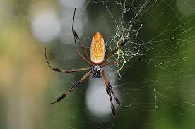 définition araignée araneae futura planète