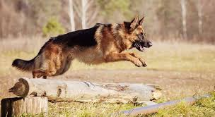Shedding Blade German Shepherd by German Shepherd Dog An Ideal Guard Dog K9 Research Lab
