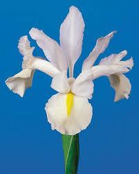 iris white excelsior dutchgrown