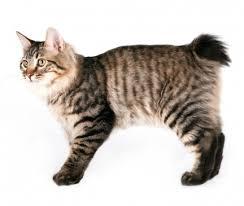 bobtail cat kurilian bobtail cat breed information