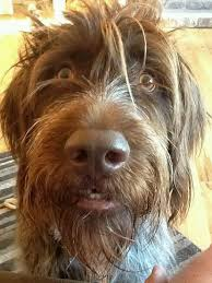 Griffon German Wirehaired Pointer Shedding by 82 Best Wirehaired Pointing Griffon Images On Pinterest