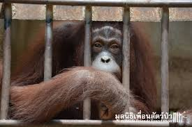 The orangutans are almost home Wildlife Friends Foundation