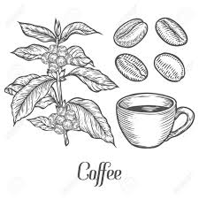 Coffee Plant Branch With Leaf Berry Bean Cup Seed Natural