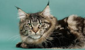 Do Maine Coons Shed In The Summer maine coon cat breed information