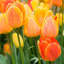 5 best bulbs to plant in fall bulbs sunset and plants