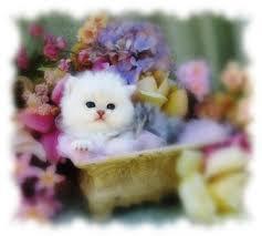 tea cup cat chinchilla kitten doll kittens