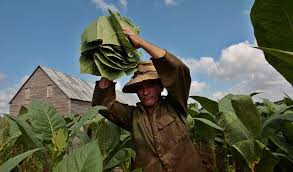 A Worker Harvesting Tobacco In Pinar Del Rio West Of Havana Credit Reuters