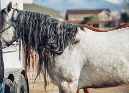 How To Brush A Horse Mane - BioMane Equine Pellets | BioMane: Hair ... Wall Decal Lion Mane Wild Cat Beast Predator Animal King Vinyl Retro And Rusty Oh And Me Photo Stuff To Buy Pinterest Circus Mania May 2014 Suicide Is Painless Hepatitus Used Car Parts Mcton Youtube The Parts Of A Horse Sema 2016 Killer Builds 2_1759_58247161348608762_ojpg 20481536 Manes Truck Home Facebook Fence Barnstorming Carr Day Martin Canter Tail Cditioner 1 Litre